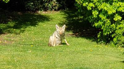Arlington Police help save 2 children attacked by coyote less than 10 minutes apart