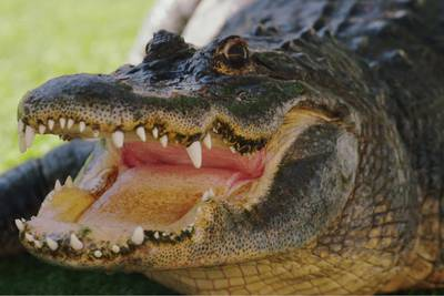 9-foot gator removed from NC neighborhood on 'leash' after unauthorized stroll